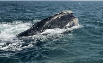 Right Whales and Potential Impacts Associated With Naval Operations